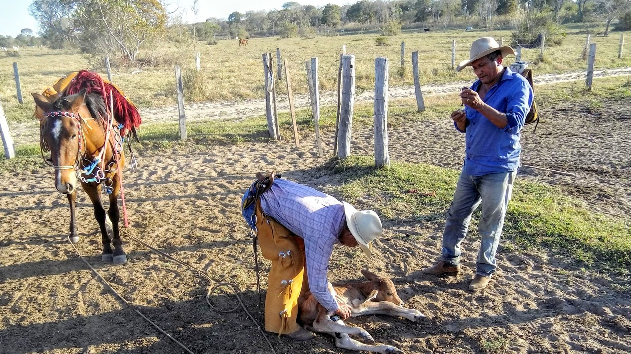 Braziliaanse cattle work en safari te paard